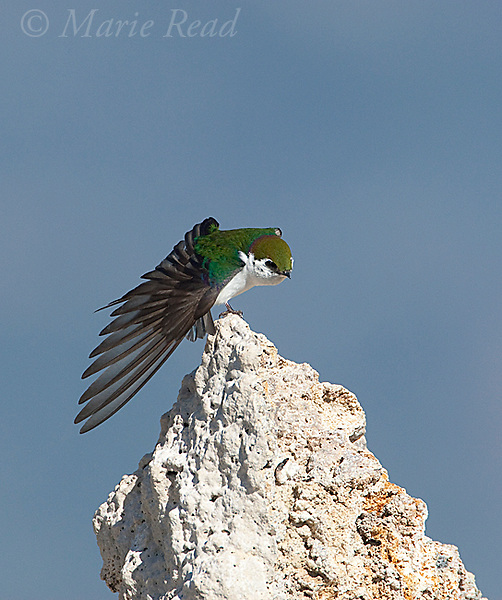 Violet-green Swallow  (Tachycineta thalassina), male stretching its wing, perched on tufa tower, Mono Lake, California,USA
