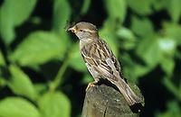 Hausspatz, Jungvogel mit Futter im Schnabel, Haus-Spatz, Spatz, Haussperling, Haus-Sperling, Passer domesticus, house sparrow