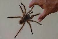 A aranha caranguejeira (Mygalomorphae) possui variado colorido e tamanho, desde milímetros até 20cm de envergadura de pernas. Algumas são muito pilosas. Os acidentes são destituídos de importância médica, sendo conhecida a irritação ocasionada na pele e mucosas devido aos pêlos urticantes, que algumas espécies liberam como forma de defesa. Os pêlos urticantes podem estar concentrados na região posterior do abdome, de 10.000 a 20.000 pêlos por mm.<br /> <br /> Tailândia, Pará, Brasil<br /> Foto Paulo Santos<br /> 2008