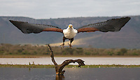An African fish eagle perched very close during my first session in one of the underground hides at Zimanga.