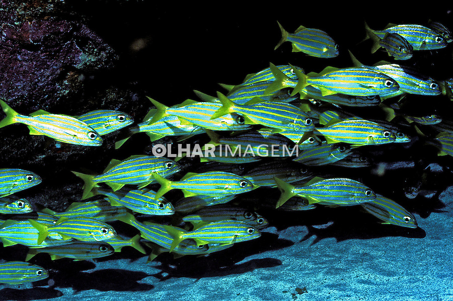 Cardumes de peixe Xira (Haemulon chrysargyreum), Fernando de Noronha, PE. Foto de Maristela Colucci.