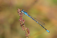320190009 a wild male arroyo bluet damselfly enallagma praeverum perches on a small flowering plant by a small pond on fort huachuca cochise county arizona united states