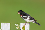 Male rose-breasted grosbeak perched on a backyard fence.
