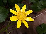 Staten Island, unidentified yellow wildflower