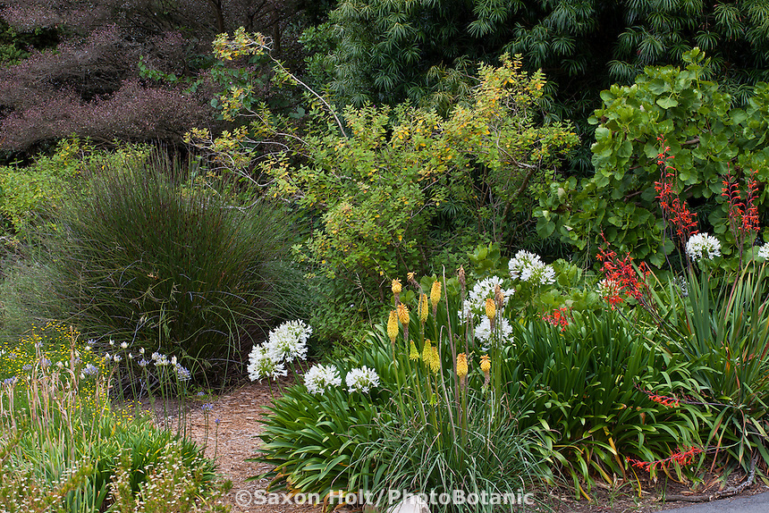 Mixed border with  Chondropetalum, Agapanthus, Knifophia in South African section of San Francisco Botanical Garden