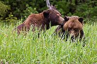 Pair of Grizzly Bears cuddling in the tall grass