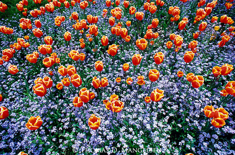 Recreated in the likeness of Mother Nature, a harmonious planting of tulips and forget-me-nots offer a sense of beauty and tranquility to those who visit the Queen Elizabeth Park in Vancouver, British Columbia, Canada.