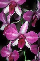 Dendrobium phalaenopsis hybrid: Den. Hepa 'Kristy' (Tomie x phalaenopsis) Orchid, splash petal, peloric, peloria orchid