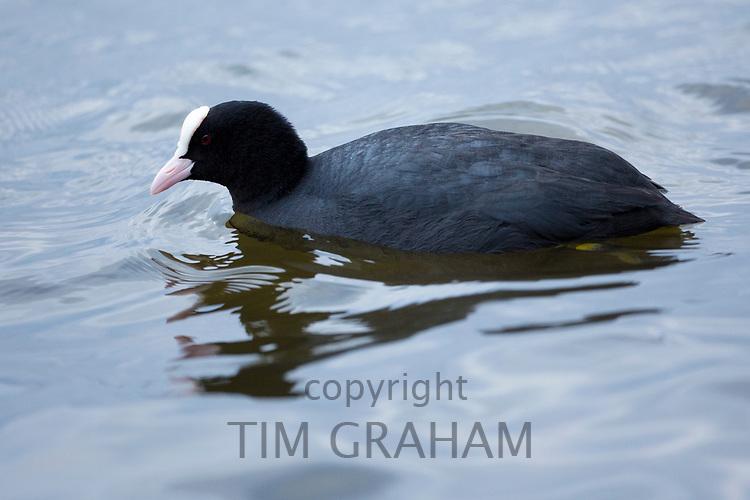 Coot, Fulica, at Welney Wetland Centre, Norfolk, UK