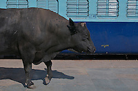 A Bull walking the Varanasi Train Station un disturbed India