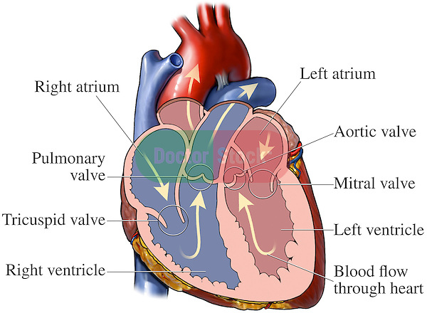 Normal heart doctor stock normal heart illustrates blood flow cardiac circulation through the heart includes labels ccuart Images