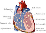 Normal Heart. Illustrates blood flow (cardiac circulation) through the heart. Includes labels for right atrium/ventricle, left atrium/ventricle, pulmonary valve, mitral valve, aortic valve, and triscuspid valves.