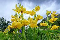 France, Hautes-Alpes (05), Villar-d'Arène, jardin alpin du Lautaret, lis à étamines soudées, Lilium monadelphum (Caucase)