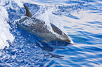 Pantropical Spotted Dolphin, Stenella attenuata, wake-riding, matured adult with white or light pink beak tip, off Kona Coast, Big Island, Hawaii, Pacific Ocean