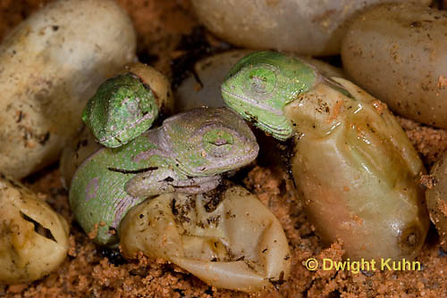 CH43-513z  Veiled Chameleon young hatching from eggs, Chamaeleo calyptratus
