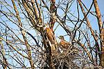 HAWKS; ferruginous hawk