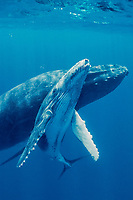 humpback whales, Megaptera novaeangliae, mother and calf, Tonga, Pacific Ocean
