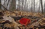 Scarlet Cup Mushroom