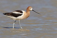 American Avocet - Recurvirostra americana - Adult male breeding