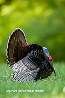 00845-07106 Eastern Wild Turkey (Meleagris gallopavo) gobbler strutting in field, Holmes Co., MS