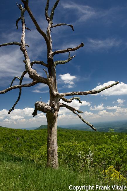 Dead Tree at Overlook in Shenandoah National Park