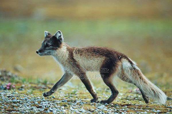 Arctic fox (Vulpes lagopus), adult walking, Svalbard, Norway, Arctic