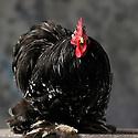 23/11/12 - MONTLUCON - ALLIER - FRANCE - Concours National Avicole de Montlucon. Coq Pekin noir cailloutee blanc. Eleveur Anthony Re - Photo Jerome CHABANNE