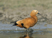 Ruddy Shelduck Tadorna ferruginea L 61-67cm. Related to Shelduck but with orange-brown body plumage and a paler buff head and upper neck. Occurs mainly in SE Europe but wanders in winter. Some records probably relate to wild birds but widely kept in captivity and escapees must be considered.