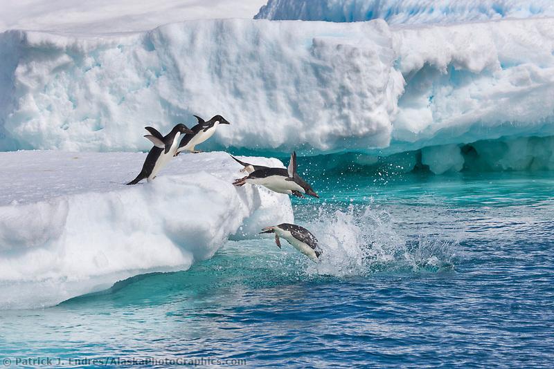 Adelie penguins hauled out on floating icebergs near Paulet Island, Antarctic Peninsula.