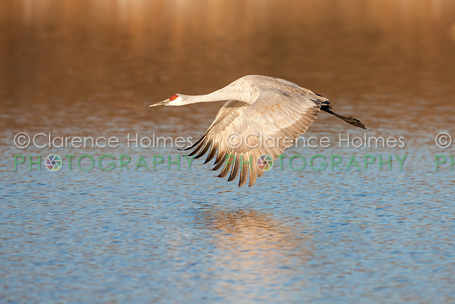 Sandhill Crane (Grus canadensis) in flight after take-off from wading