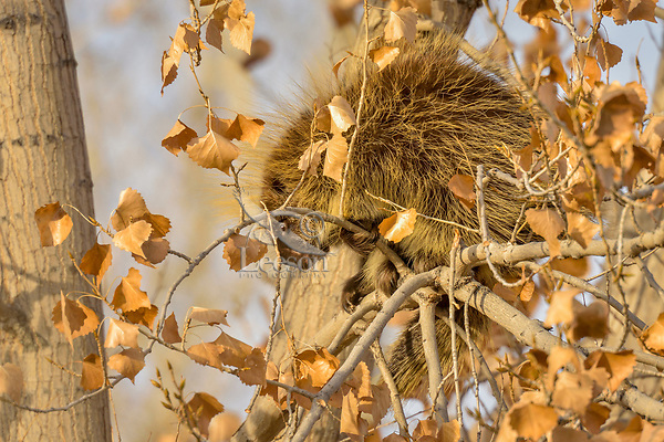 North American porcupine (Erethizon dorsatum), also known as the Canadian porcupine or common porcupine, during early winter in large cottonwood tree.  Utah.