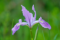 Tough Leaf Iris, Oregon Iris, or wild iris (Iris tenax).  Pacific Northwest.  Spring.