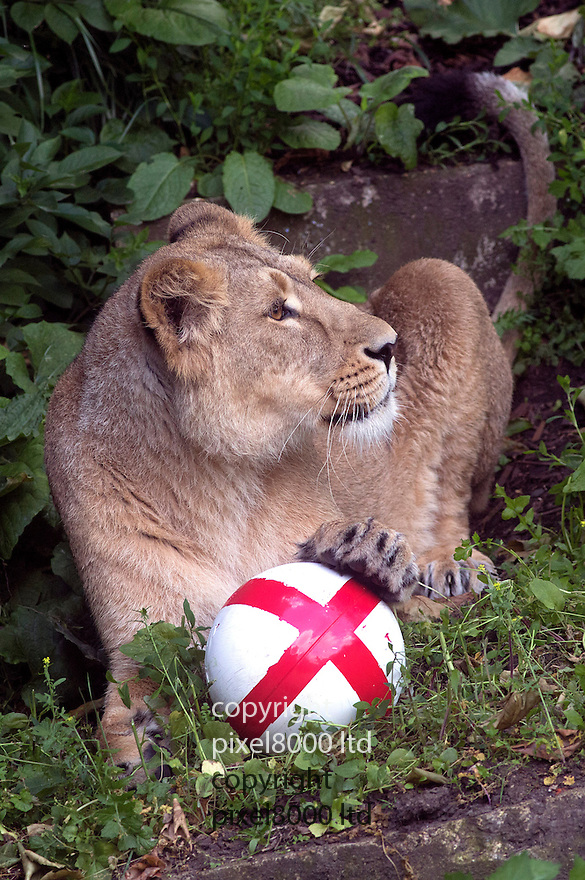 Pic shows: Photocall for 3 lions with a England football to inspire World Cup team - at London Zoo today 12.6.14<br /> Balls are smeared with meat and blood to tempt them<br /> <br /> This lion Indi - grabs the ball with her teeth.<br /> <br /> <br /> <br /> <br /> Pic by Gavin Rodgers/Pixel 8000 Ltd
