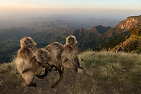 Female Gelada mnkeys allo-grooming on the edge of the Sien Mountains escarpment.