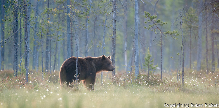 European Brown Bear, Ursus arctos arctos, Kuhmo, Finland, Lentiira, Vartius near Russian Border, foraging in forest