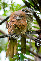 Sri Lanka frogmouth, Sri Lankan frogmouth or Ceylon frogmouth (Batrachostomus moniliger) is a small frogmouth found in the Western Ghats of south India and Sri Lanka. Related to the nightjars, it is nocturnal and is found in forest habitats. The plumage coloration resembles that of dried leaves and the bird roosts quietly on branches, making it difficult to see. Each has a favourite roost that it uses regularly unless disturbed. It has a distinctive call that is usually heard at dawn and dusk. The sexes differ slightly in plumage. Sinharaja Forest Reserve - Sri Lanka.