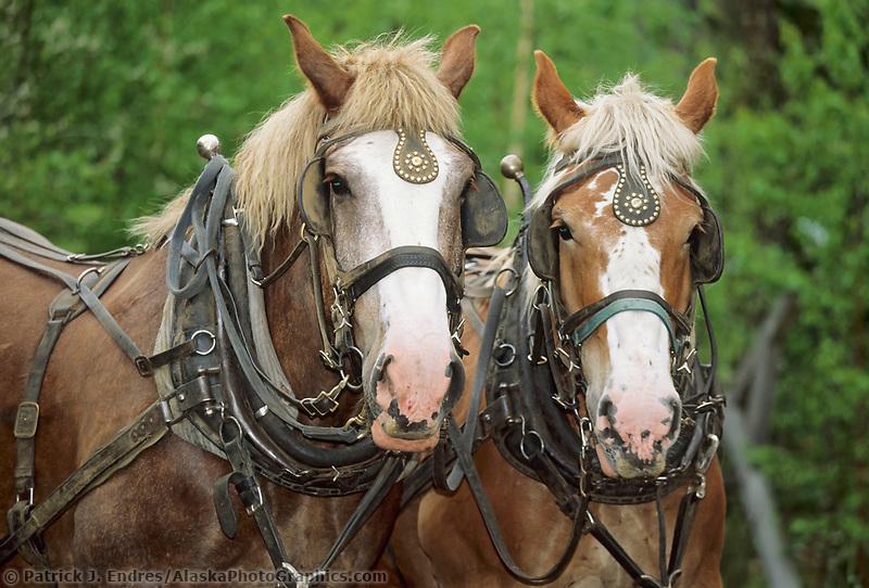 Draft horses in harness, Delta Junction, Alaska