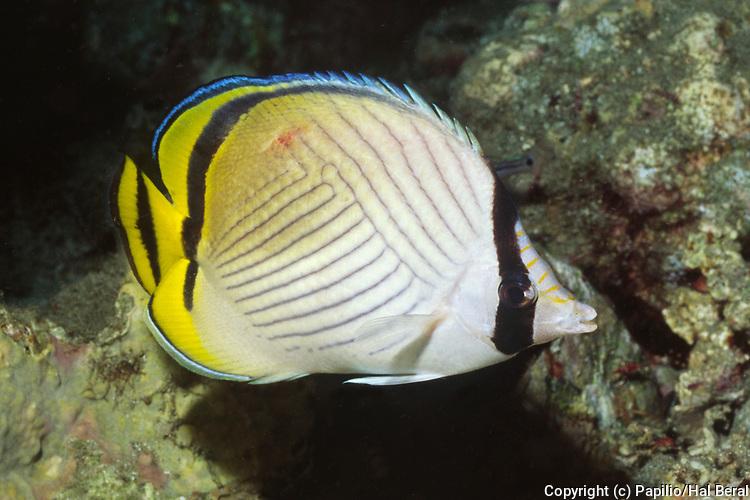 Vagabond Butterflyfish.(Chaetodon vagabundus).Papua New Guniea