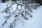 Mount San Jacinto State Park and Wilderness, Palm Springs, California; a fallen tree sticking out of the snow
