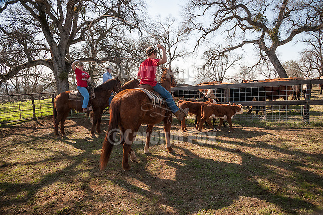 Late winter calf marking, branding and doctoring at the hilltop corral above the Busi Ranch in the Sierra Nevada Foothills of Amador County, Calif...Kids roping their first calves