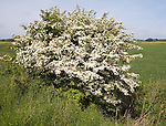 Hawthorn bush tree Crataegus in flower Suffolk England