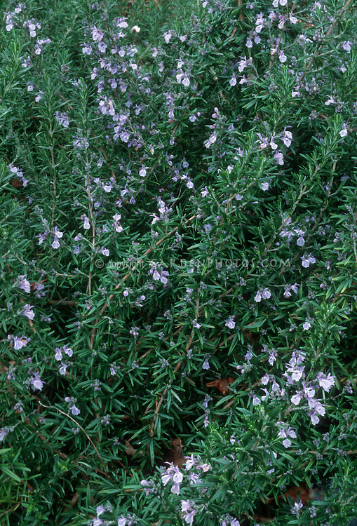 Rosemary herb Rosmarinus officinalis 'McConnell's Blue' flowering in bloom