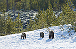 A grizzly bear sow and her two cubs on a leftover patch of snow in Yellowstone National Park June 4, 2011. Photo by Gus Curtis.