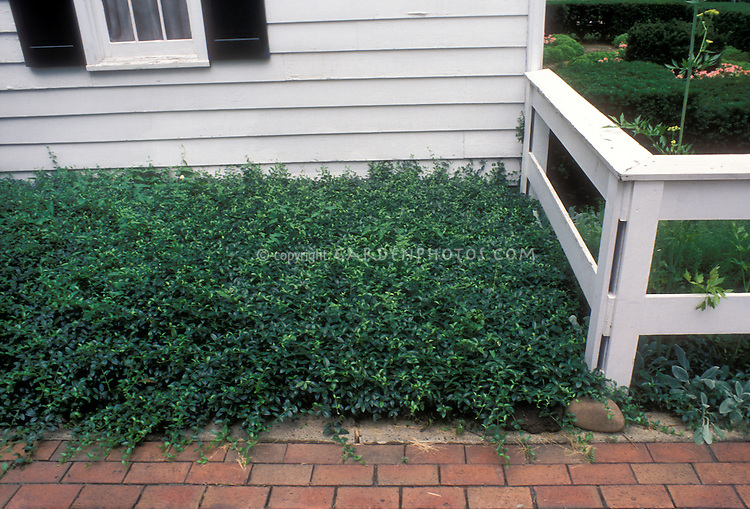 Vinca minor as low-growing spreading groundcover next to house and brick walk pathway, fence