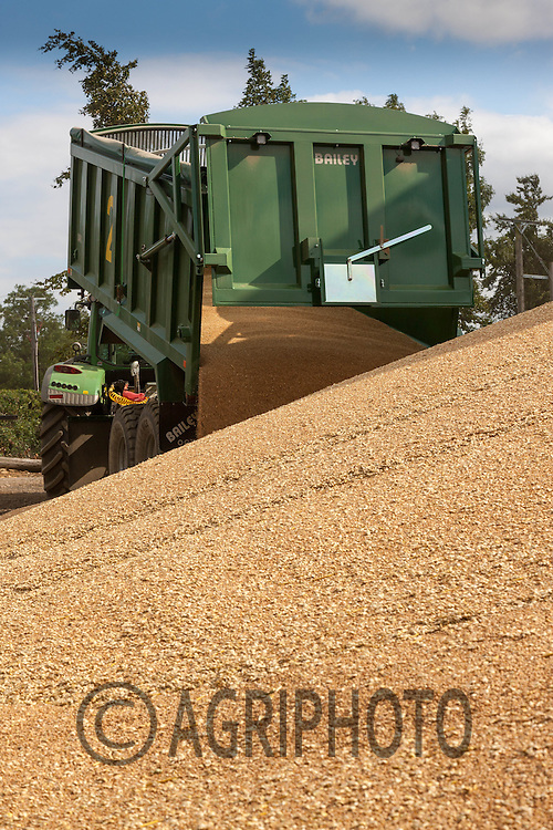 Tractor and trailer tipping wheat onto a heap in a farm yard.<br /> Picture Tim Scrivener 07850 303986