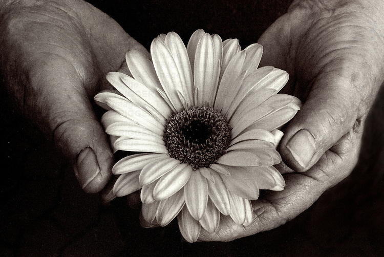 Old hands gently holding a fresh flower