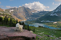 Mountain Goat (Oreamnos americanus) kids playing--dominance behavior.  Glacier National Park, Montana.  Summer.