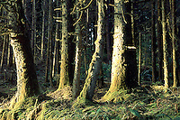 Moss covered evergreen trees a the coastal part of the Redwood National Park in Northern California