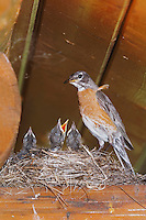 American Robin, Turdus migratorius, female with young on nest at Log Cabin, Glacier National Park, Montana, USA, July 2007