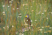 Western Meadowlark (Sturnella neglecta) singing in the morning among prairie wildflowers while standing on and old buffalo chip.  Western U.S., June.